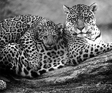 beute vom jaguar
